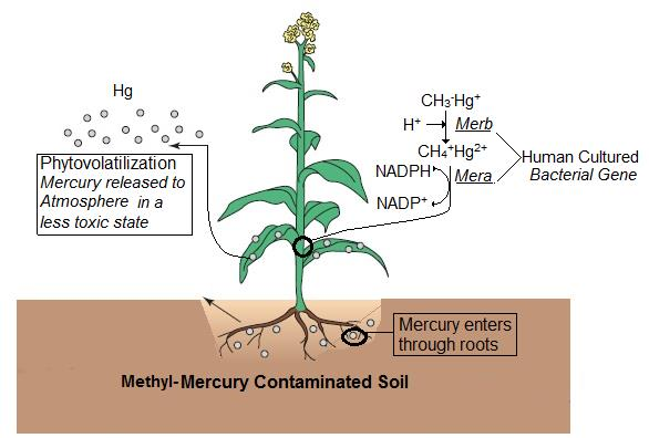 Figure 7. Transgenic plant expressing MerA and MerB cultured by Humans, Image adapted from Pilon-Smits and Pilon (2000).