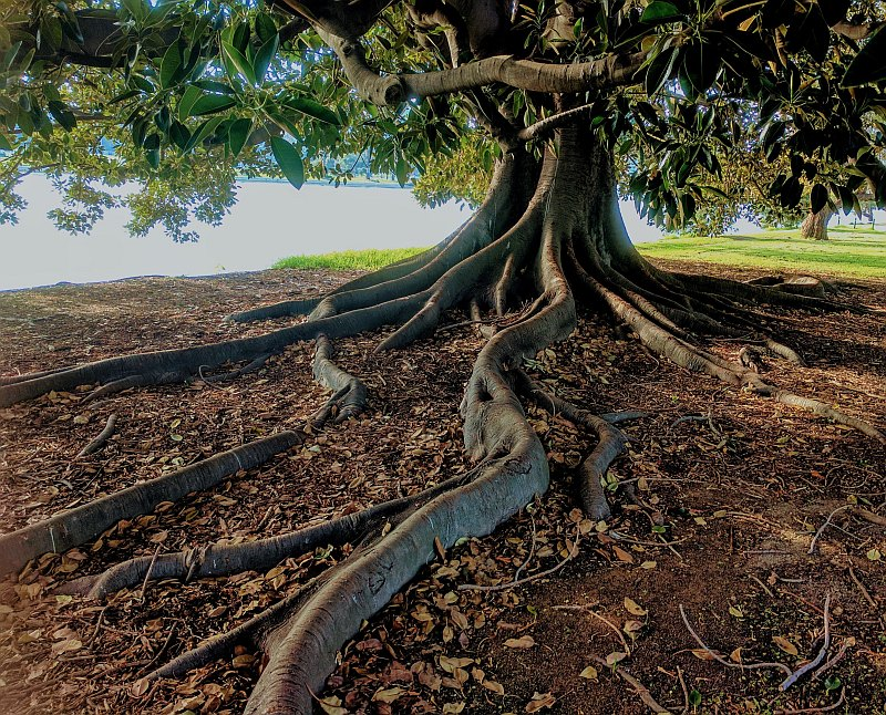 A tree with gnarled roots extending from trunk.